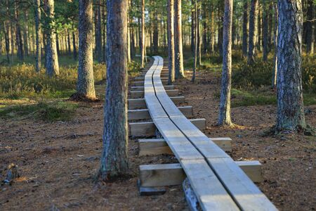 bogs: Pathway in the pine forest in Estonian bogs