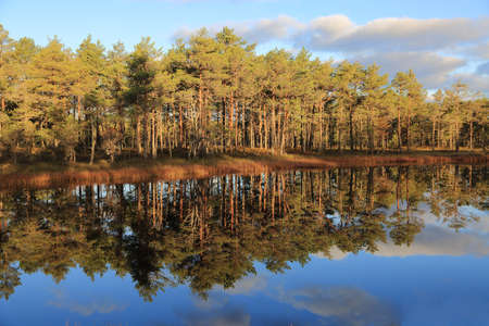 bogs: Clear reflections of pines in the water of bogs in Estonia