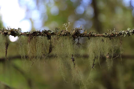 Spanish moss hanging on a tree branch Stock Photo