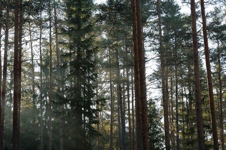 sunrays: Sunrays crossing trunks and branches in the pine forest Stock Photo