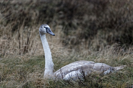 cygnus atratus: Adult gray and white swan sitting in the colorless grass