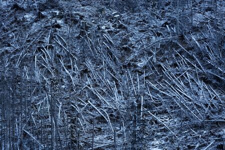 felling: Texture formed by cut pine trunks on the felling Stock Photo