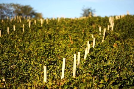 Green vineyard on row