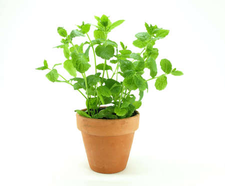 Fresh mint herb on a pot over white. photo