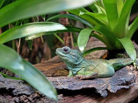 a green iguana on top of a fallen tree Stock Photo - 4466442