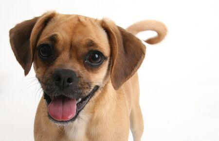 puggle puppy smiling Stock Photo