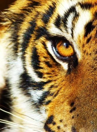 Tigre de la selva Foto de archivo