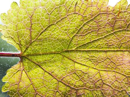 Single isolated leaf close up Stock Photo - 17071398