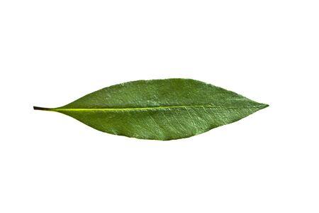 Single isolated leaf on a white background Stock Photo - 17084779