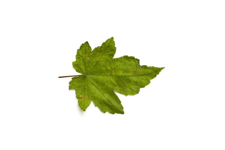 Single isolated leaf on a white