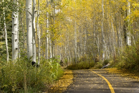 forest conservation: This beautiful Golden Aspen Tree lined path in Vail Colorado cannot have been better in these fall colors  Stock Photo