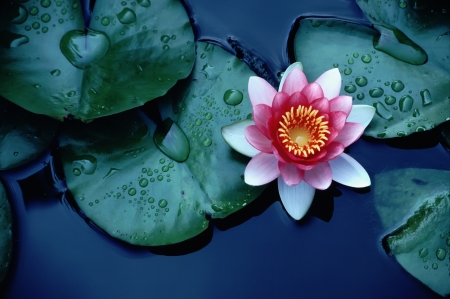 flowers horizontal: Beautiful rich colors of a waterlily on the water Stock Photo