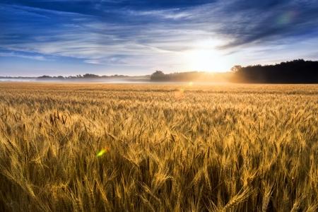 中央カンザス州の小麦のこの分野はほぼ異常な霧の深い朝焦点は、フォア グラウンドに近い小麦小麦の茎に低い霧と霧滴を追加収穫の準備ができて