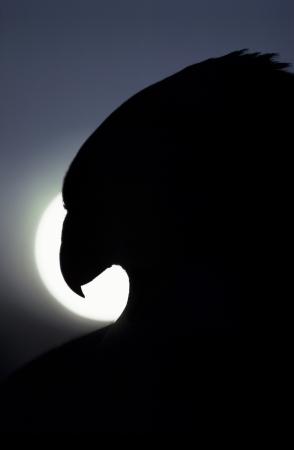 Silhouet Close-up van een roofvogel tegen een grote zon Een grote illustratie van de macht, trots, vrijheid, patriottisme of roofvogels Stockfoto