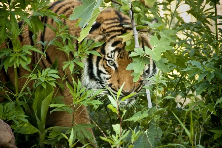 sumatran tiger: This Malayan Tiger peers through the branches as it stalks another tiger in a local zoo exhibit  The attention to detail in keeping this exhibit
