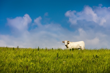 This cow standing in deep green grass with blue sky and puffy white clouds illustrates naturally fed, organic, range fed farm raised beef