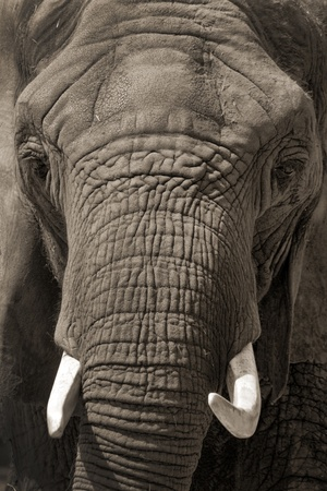 This African Elephant was brought close to the visitors of our local zoo for a little face to face contact