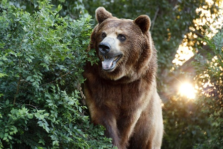 This Grizzly or Brown Bear views down the trail in this local zoo exhibit  Late evening summer hours for members help find the animals more active, and the sunset in the background tells the time of day