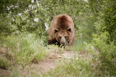 This Grizzly or Brown Bear takes an aggressive stance along the forest trail at our local zoo  Фото со стока