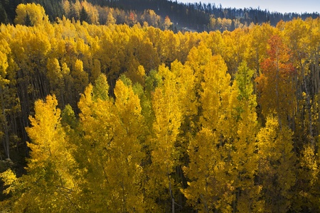 This beautiful perspective of Golden Aspen Trees backlit by a setting sun in Vail Colorado Rocky Mountains is a great photo of what to expect in the Fall season