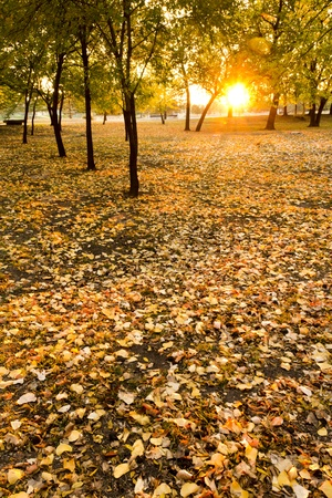 Very colorful Autumn scene at sunrise with trees and yellow fall leaves