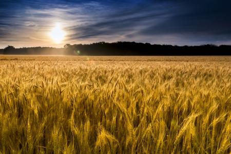 Dit veld van tarwe in het centrum van Kansas is bijna klaar voor de oogst Een ongewoon mistige ochtend toegevoegd mistige druppels aan de tarwestelen Nadruk ligt op tarwe dichtst in de voorgrond