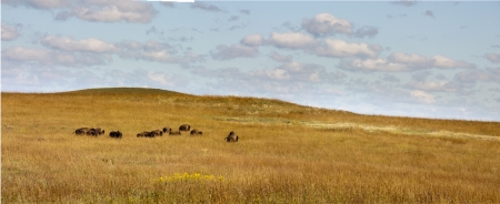 great plains: This heard of Buffalo graze casually in the wide open range of the Kansas Tallgrass Prairie Preserve  Stock Photo