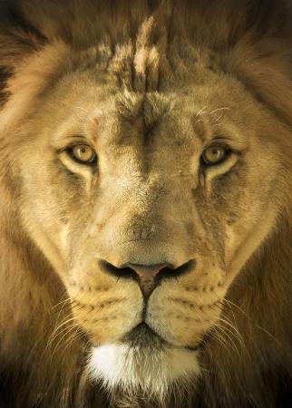 Een majestueuze, bijna magische portret illustratie van de mannelijke leeuw, koning der dieren, bij de plaatselijke dierentuin schoot