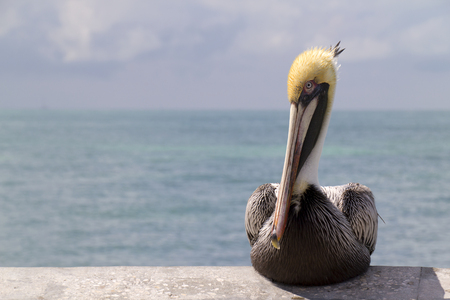 Graphic Close Up Portrait of a Pelican in Key West Florida