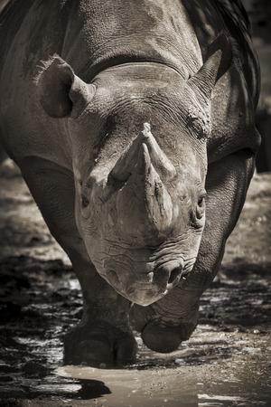 Este gran peligro Negro Rhino era enérgico en una cálida tarde de primavera corriendo directamente a mí varias veces en nuestro parque zoológico local. Foto de archivo - 40372122