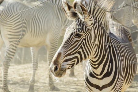 A warm hazy afternoon enhances the feel of the African plains in this portrait of a small herd of Zebras at a local zoo. Фото со стока - 40372208