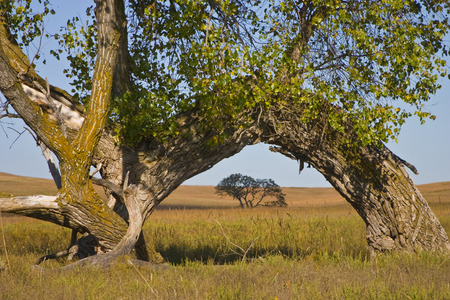 This large Kansas Cottonwood tree, bent over to the ground by a possible traveler pointing a direction many years ago,  seems to embrace another tree next to it while at the same time creates a natural arch over the tree behind it in the distance. Фото со стока - 80304808