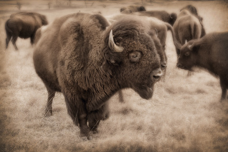 Powerful heard of Kansas Bison in Maxwell Wildlife Refuge Stok Fotoğraf