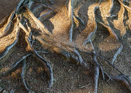 rooting: Bare roots of maritime pine (Pinus pinaster) between rocks Stock Photo