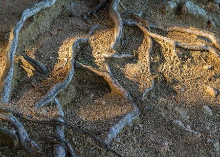 vegetal: Bare roots of maritime pine (Pinus pinaster) between rocks Stock Photo