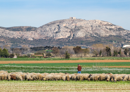 shepherd sheep: Baix Emporda, Catalonia - February 15, 2014 - Shepherd and flock of sheep in a meadow