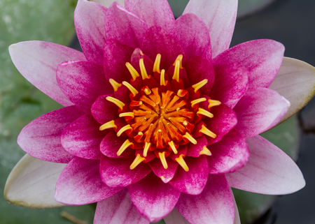 Detail of a pink water lily