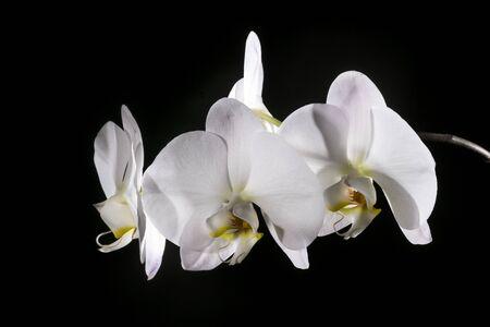 Beautiful white orchids illuminated on a dark background