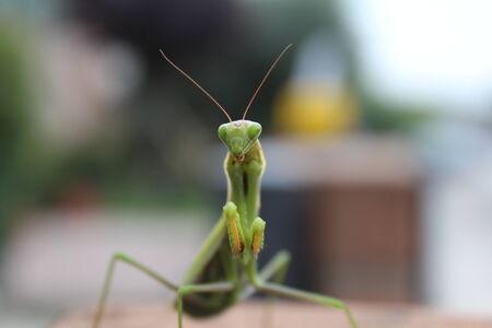 praying mantis: praying mantis