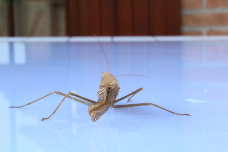 predatory insect: The praying mantis that he poses on the table