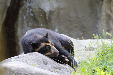 spectacled: spectacled bear resting on the rocks close to his lair Stock Photo