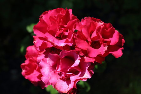 The beauty of roses in its many different varieties and sizes Stock Photo