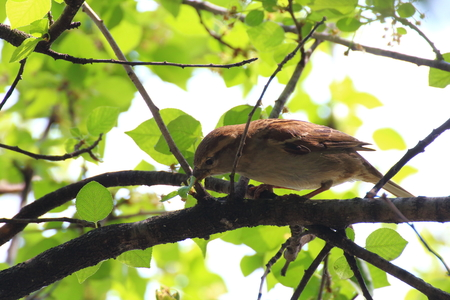 Sparrow looking for food on a tree. A little bird eats some seeds on the trees Stock Photo