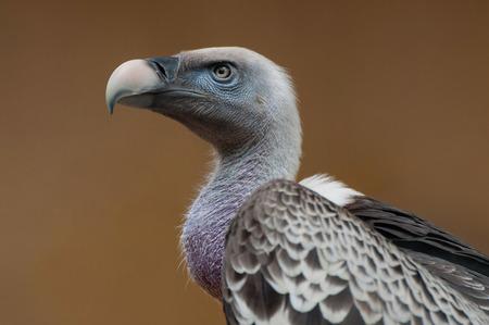 condor: Condor Stock Photo