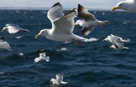 ridibundus: Herring Gull, Larus ridibundus, adult, adult; Bass Rock; Edimborough, Scotland, United Kingdom, UK, in flight, flight