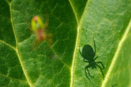 cucurbitina: ragno