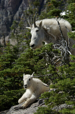 mountain goats photo