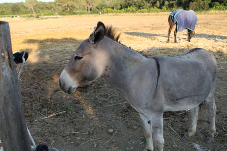 beautiful little donkey in tuscan country-closeup Imagens