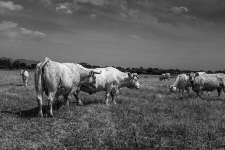 White cows grazing in the quiet of the Catalan rural scene. A curious calf and a cow look in the direction of the photographer. Black and white landscape.