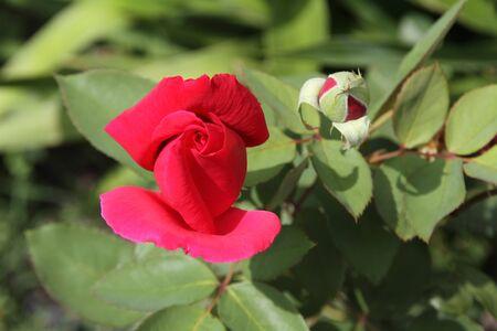 Rose bulb